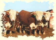registered hereford cattle since 1889